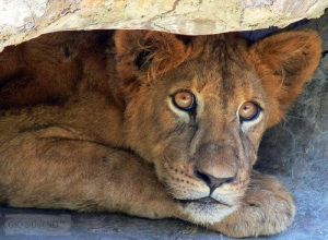 scared-lion-under-the-rock